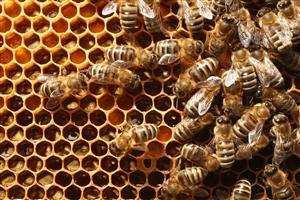 problem of swarming in bees :  ਸ਼ਹਿਦ ਦੀਆਂ ਮੱਖੀਆਂ 'ਚ ਸਵਾਰਮਿੰਗ ਦੀ ਸਮੱਸਿਆ