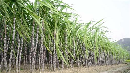 18_11_2019-sugarcane_1.jpg