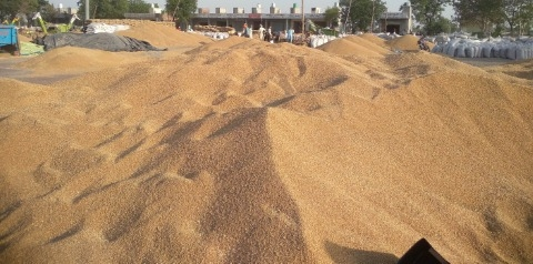 Lack of bardana forces farmers to guard wheat at night