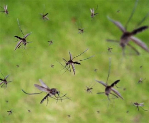 Mosquitoes will not come near you with the scent of these things including the basil plant