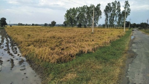Heavy rains on strong winds damaged paddy