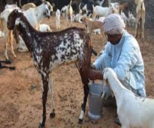 Goat's Milk: Does Drinking Goat's Milk Really Increase Platelets, Know The Truth | ਕੀ ਸੱਚਮੁਚ ਬੱਕਰੀ ਦਾ ਦੁੱਧ ਪੀਣ ਨਾਲ ਵੱਧਦੇ ਹਨ ਪਲੇਟਲੈੱਟਸ