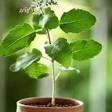 tulsi plant these people should not plant tulsi at home |  ਇਨ੍ਹਾਂ ਲੋਕਾਂ ਨੂੰ ਘਰ 'ਚ ਨਹੀਂ ਲਗਾਉਣਾ ਚਾਹੀਦਾ ਤੁਲਸੀ ਦਾ ਪੌਦਾ, ਫਾਇਦੇ ਦੀ ਬਜਾਏ ਹੁੰਦੈ ਨੁਕਸਾਨ
