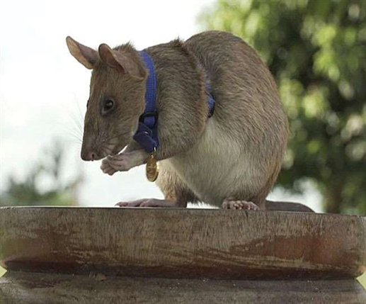 Know what is the specialty of the rat who was given the gold medal for saving peoples lives