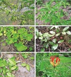 Kandi area rich in herbs