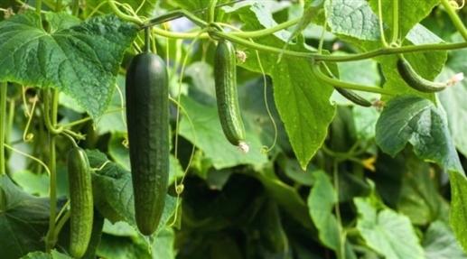 28032021/28_03_2021-28march2021_pj_cucumber-farming_8868982.jpg