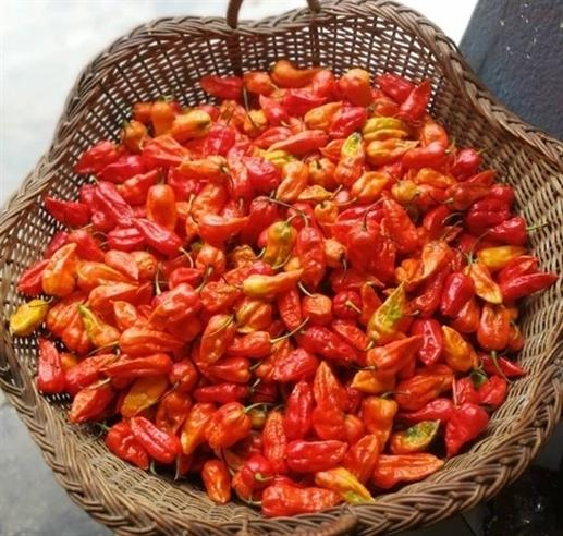Nagaland exports the worlds hottest pepper King Chilli to UK for the first time|Nagaland ਨੇ ਦੁਨੀਆ ਦੀ ਸਭ ਤੋਂ ਤਿੱਖੀ ਮਿਰਚ 'King Chilli' ਪਹਿਲੀ ਵਾਰ UK ਨੂੰ ਕੀਤੀ Exports