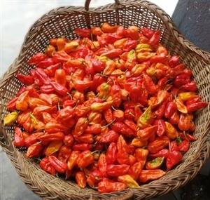Nagaland ਨੇ ਦੁਨੀਆ ਦੀ ਸਭ ਤੋਂ ਤਿੱਖੀ ਮਿਰਚ 'King Chilli' ਨੂੰ ਪਹਿਲੀ ਵਾਰ UK ਕੀਤਾ ਸੀ Export