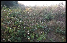 lack of labour cotton in