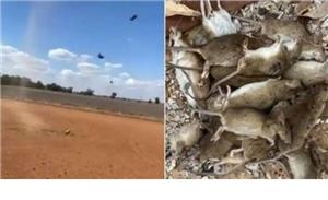 Australia's 'mice war' : ਚੂਹਿਆਂ ਨਾਲ ਜੰਗ ਲੜ ਰਿਹਾ ਆਸਟ੍ਰੇਲੀਆ, ਪਲੇਗ ਨਾਲ ਨਜਿੱਠਣ ਲਈ ਭਾਰਤ ਤੋਂ ਮੰਗਿਆ ਪਾਬੰਦੀਸ਼ੁਦਾ ਜ਼ਹਿਰ